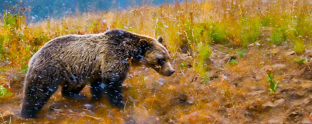 Yellowstone-Grizzley